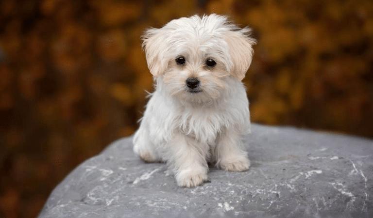 Benefits of Having Maltese Dog Breeds at Home